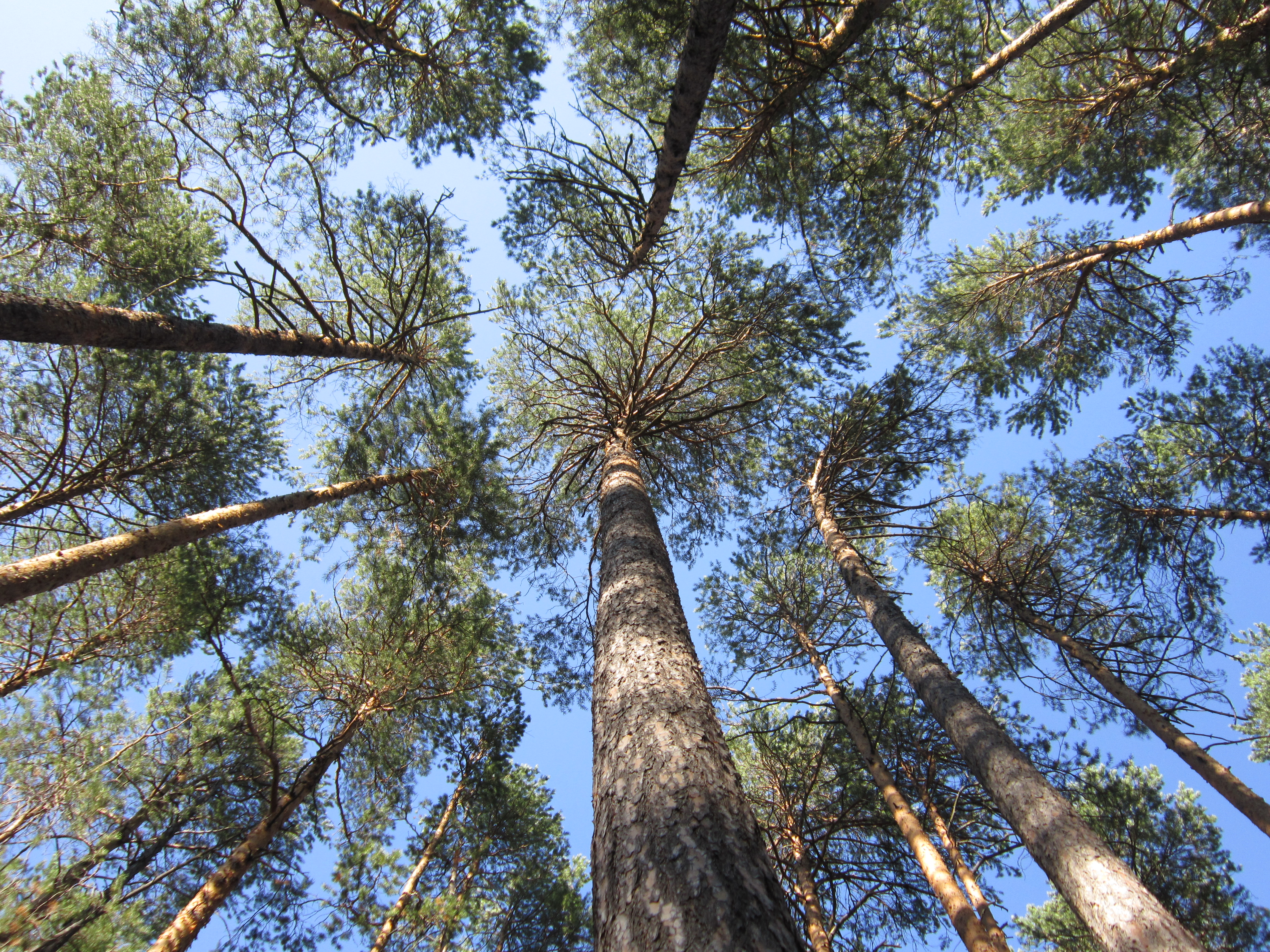 Scots Pine Genetics From Scotland To Russia Arctic