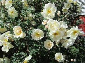Appropriately for the approaching celebration, Scotch rose (the Midsummer rose in Finnish) in bloom.