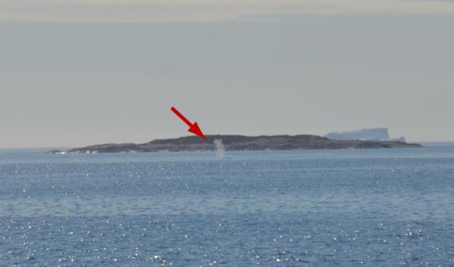Whale spout (arrowed)