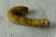 Enchytridae