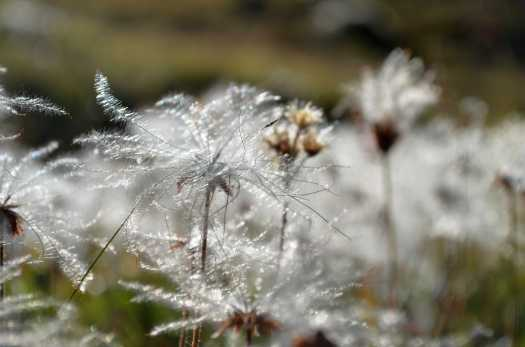 Fuzzy seeds of dryas octopetala