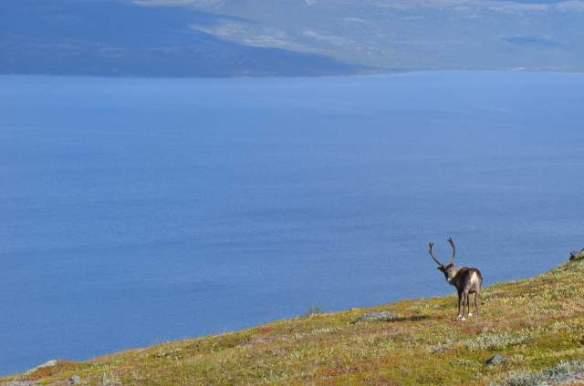 Reindeer and Torneträsk