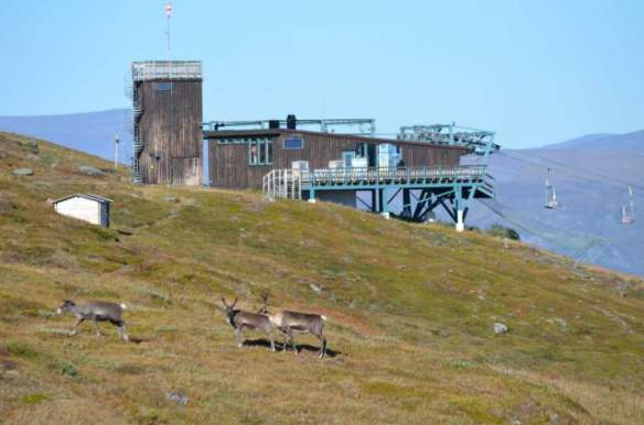 Reindeer and chairlift