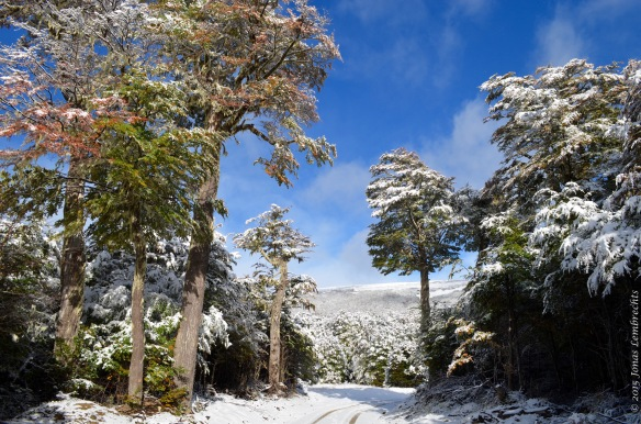 Local Nothofagus forest in the snow